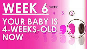 The Pregnancy - Week 6 - Embryo is 4 weeks old