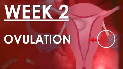 The Pregnancy Week 2 - Ovulation
